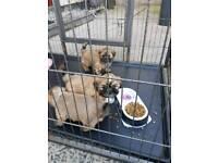 Puppies for sale Cross Lhasa Apso shih Tzu
