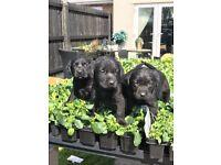 Labrador puppy's