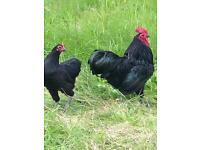 Hens and cockerels