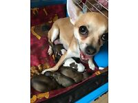 Male Chihuahua Pups For Sale