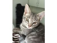 MARVEL grey striped tabby cat nearly 2 years old, no collar but has been micro chipped and neutered.