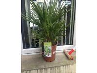 Plant dwarf fan palm