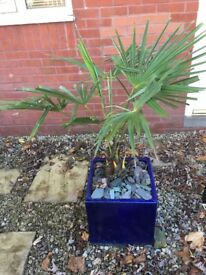 Palm Tree (medium with pot) £30