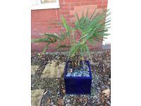 Palm Tree (medium with pot) £30