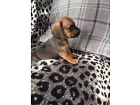 Adorable miniature dachshund x puppies