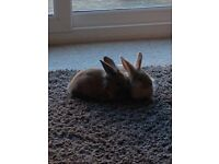 Two Cute Friendly Female Rabbits Free to Good Home