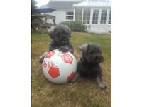 Shnawzer pups for sale