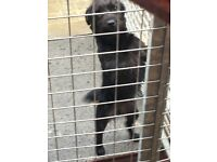Patterdale ( dog,terrier,pup,)