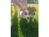 2 boy jack russell puppies for sale