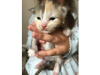 Registered Maine Coon Kittens