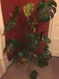 Large Cheese Plant Free to Good Home
