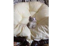 Ready! male kitten British shorthair!!