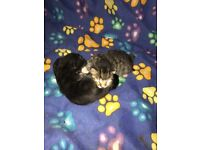2 Kittens for sale. Ready in may