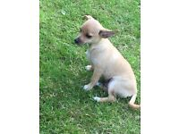 Puppy chihuahua with tiny bit of jack