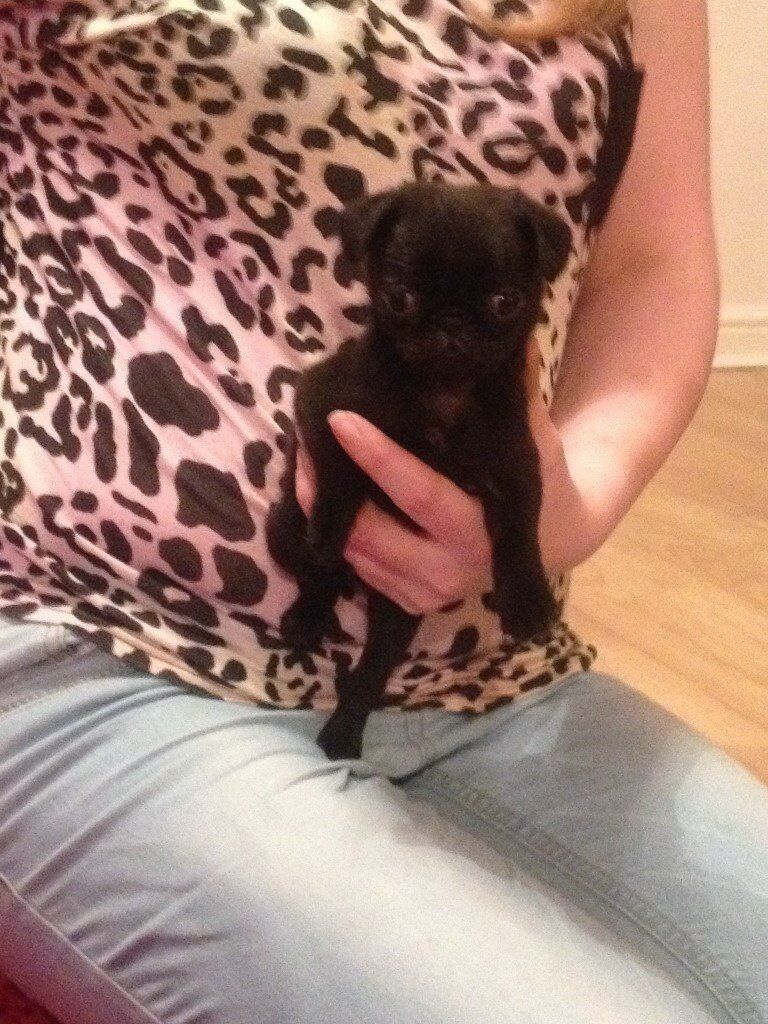 stunning black pug puppy girl kc reg ready soon ........................