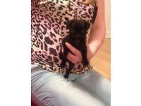 stunning black pug puppy girl kc reg