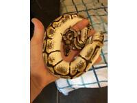 Male calider royal python