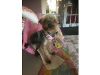 2 year old male yorkshire terrier