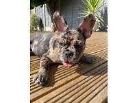 Merle Male French Bulldog