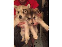 Siberian huskys puppies