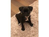 Pug for sale £500 ono