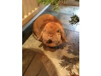 Beautiful mini lop looking for a good home