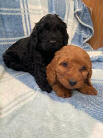 4 adorable cockapoo puppies ready now