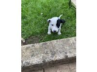 6 Lovely Jack Russell puppies for sale