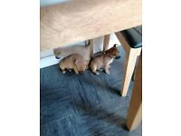 2 Jack russle pups for sale