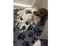 Miniature jack Russell puppies for sale