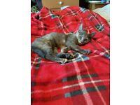 Gorgeous female kitten for sale