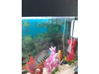 For sale severums x2 fish South Bank near Plymouth Devon £15 for the pair