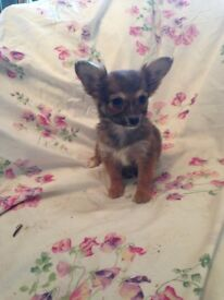 Gold Dust Yorkie x Chihuahua - Last One Left Due To Time Waster!