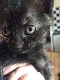 Female kitten 8 weeks old