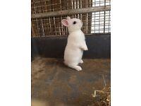 Dwarf beautiful baby rabbit male