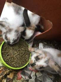 Four lop eared baby rabbits