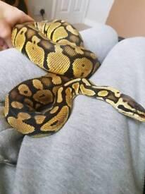 Royal Pastel Python with Viv, Heat mat, Thermostat and Decor