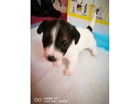 3 beautiful female jack Russell puppies