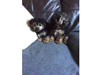 Yorkiepoo puppy's
