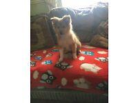 Miniature lassie pups (shelties)