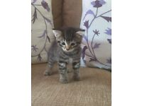 I have two beautiful female 8 week old tabby kittens