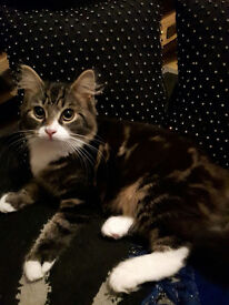 Male Main Coon Kitten with house and 2 sitting mat