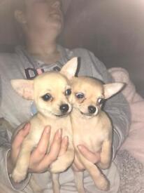 Chihuahua pups 2 left