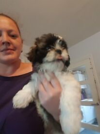 Adorable Shih tzu, boy looking for his forever home