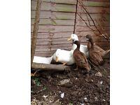 6 ducks for sale - £20 each