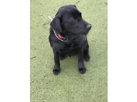 Black labrador fully vaccinated