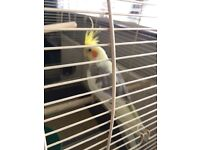 Male Cockatiel and cage