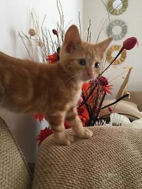Ginger female kitten