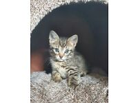 Beautiful kittens for sale part main coone