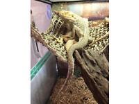 Friendly male bearded dragon and large vivarium
